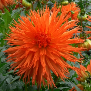 LÕHISÕIELINE D. Mel´s Orange Marmalade