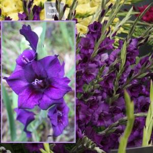 AEDGLADIOOL Purple Flora