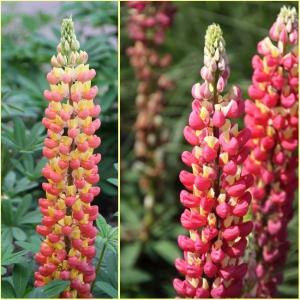 HULGALEHINE LUPIIN Pink/Yellow
