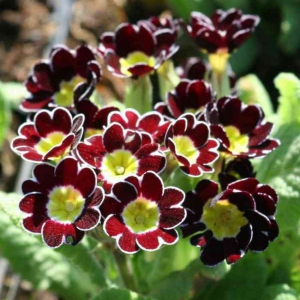KÕRGE PRIIMULA Gold Lace Scarlet