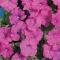 HÜBRIIDPETUUNIA Karlik violet F1