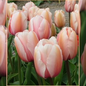 TULP Salmon Impression