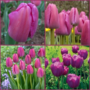 TULP Purple Pride