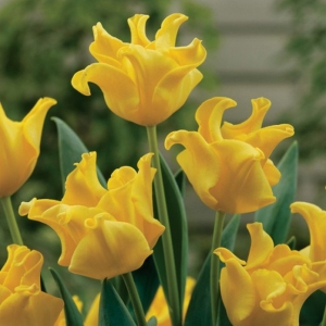 TULP Yellow Crown