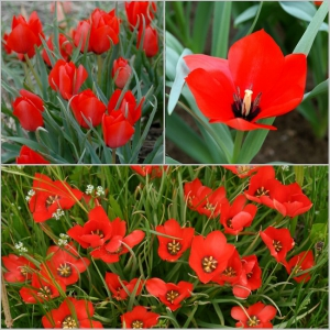 LINALEHINE TULP Red Hunter