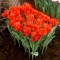 TULP Silhouette Bouquet
