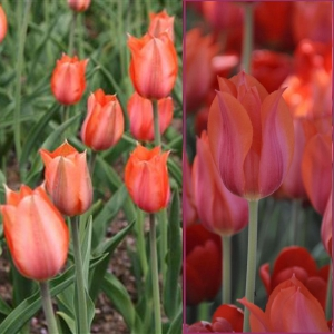 TULP Temples Favourite