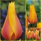 TULP Long Lady