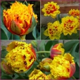 TULP Crispion Beauty