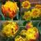 TULP Crispion Beauty