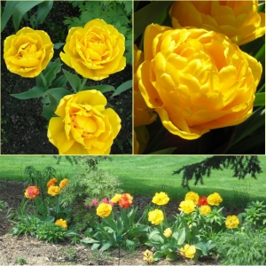 TULP Yellow Pomponette