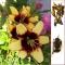 AASIA LIILIA Bumblebee