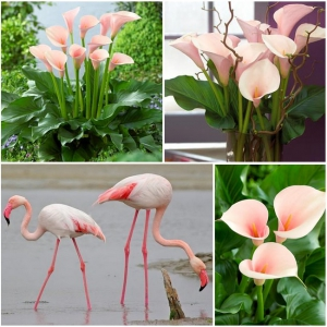 HARILIK KALLA Flamingo