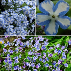 SUURELEHINE BRUNNERA Starry Eyes