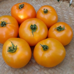 TOMAT 'Oranže'
