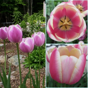 TULP Jumbo Beauty
