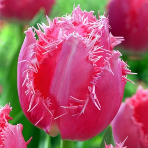 TULP Cacharel