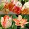 TULP Apricot Parrot