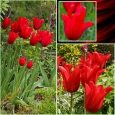 TULP Red Shine