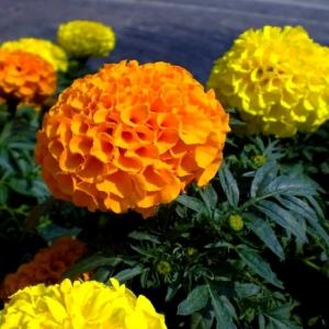 PEIULILL 'Antiqua Orange' F1