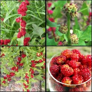 ERE HANEMALTS maasikaspinat
