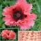 IDAMAGUN Pink Ruffles