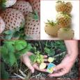 AEDMAASIKAS Pineberry Fragaria x ananassa