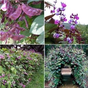 LOBAUBA  'Purple'