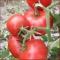 Tomat Mato