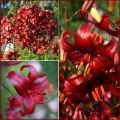 AASIA LIILIA  Red Velvet