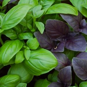 VÜRTSBASIILIK 'Toscano' + 'Purple Opal'