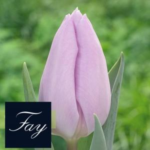 TULP Fay