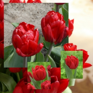TULP Prince of Marvel