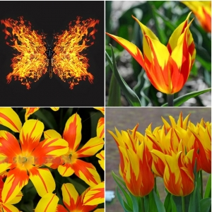 TULP Fire Wings