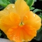 AEDKANNIKE Orange Sun