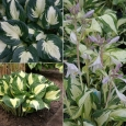 HOSTA Pathfinder