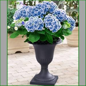 HORTENSIA Bicolor Blue-White