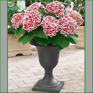 HORTENSIA Bicolor Red-White