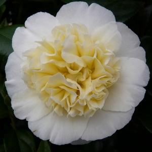 JAAPANI KAMEELIA Yellow Camellia Japonica