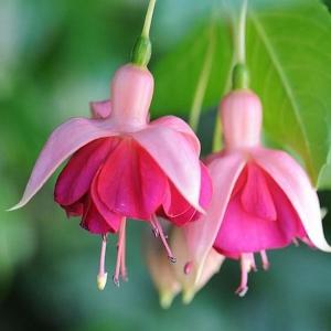 FUKSIA Garden News