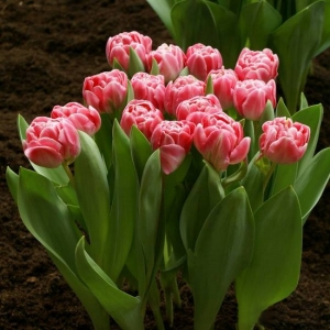 TULP Endless Love