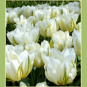 TULP White Valley  UUDIS!