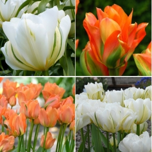 TULP Whte Valley ja Disneyland Paris