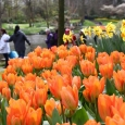 FOSTERI TULP Purissima Orange