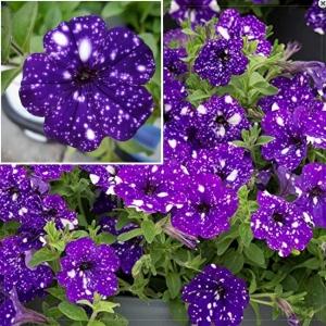 HÜBRIIDPETUUNIA Dot Star F1 Deep Violet