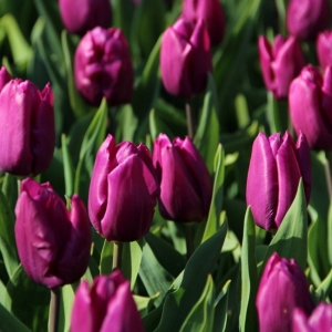 TULP 'Purple Prince' suur pakk