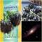 PAPRIKA 'Andromeda' F1