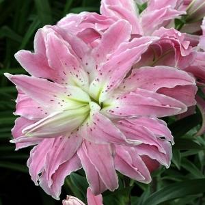 LIILIA Idahübriid täidis 'Lotus Elegance'