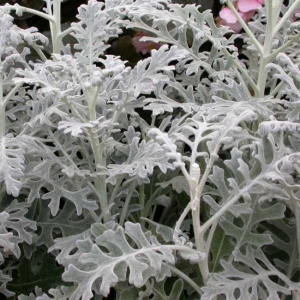 VILT-RISTIROHI 'Silver Dust'