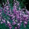 ÖÖLEVKOI Lilac